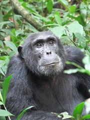 450px-Kibale_chimp