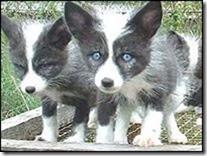 belyaev_silver_foxes